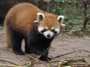 Weniger bekannt sind die roten Pandabären